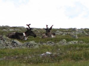 caribous au repos