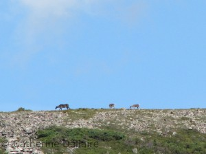 jeunes caribous